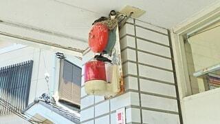 燕の巣から落ちたヒナの写真・画像素材[4694533]