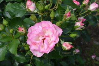 バラ ピンクの写真・画像素材[2613086]