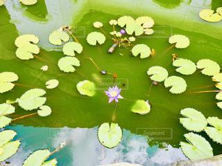 池に浮かぶ睡蓮(スイレン)の葉の写真・画像素材[2416308]