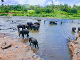スリランカゾウの水浴び風景の写真・画像素材[2416310]