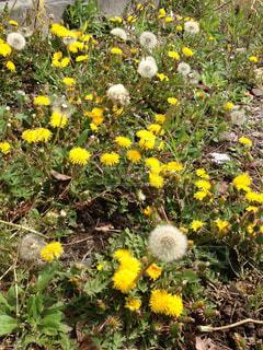 野原の黄色い花の写真・画像素材[2684611]