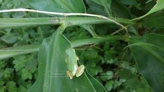 カエルの写真・画像素材[4657498]