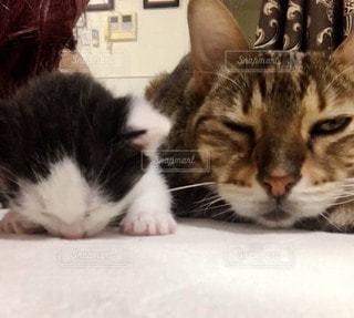 捨てられていた子猫を受け入れる家猫ちゃんの写真・画像素材[2721172]