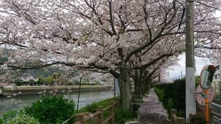 桜道の写真・画像素材[2621695]