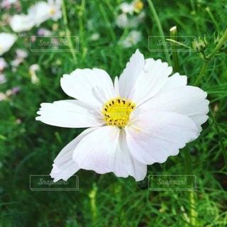 一輪の花の写真・画像素材[2621441]