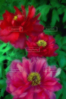 ボタンの花の写真・画像素材[2660598]