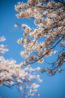 桜の季節にの写真・画像素材[2307286]