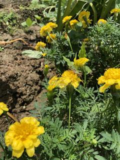 庭のマリーゴールド バッタの写真・画像素材[2622969]