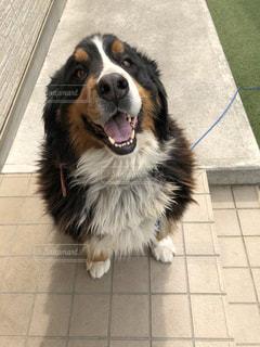 我が家の愛犬の写真・画像素材[2641034]