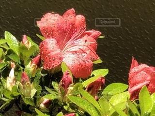 皐月咲き始めの写真・画像素材[2625465]