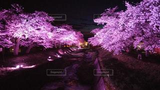 観音寺川ライトアップ桜の写真・画像素材[2625635]