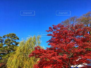 皇居乾通りの紅葉見学の写真・画像素材[2821901]