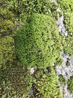 自生する苔の写真・画像素材[2627740]