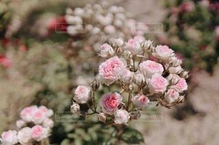 ピンク グラデーションのミニ薔薇(ミミエデン)の写真・画像素材[3368475]