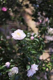日陰の白い山茶花の写真・画像素材[3467407]