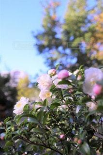 白い山茶花の咲く頃の写真・画像素材[3468782]