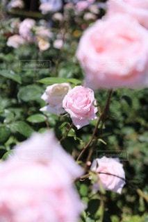 シュガー ピンクの薔薇の園(メルヘン・ケニギン)の写真・画像素材[3502962]