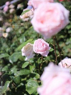 シュガー ピンクの薔薇の園(メルヘン・ケニギン)の写真・画像素材[3502963]