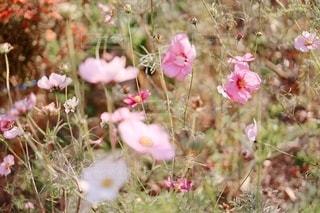 晩秋の秋桜の写真・画像素材[3536624]