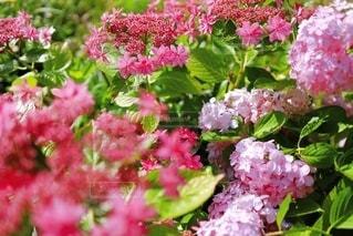 ラズベリーピンクの額紫陽花(ダンス パーティー)の写真・画像素材[3608612]