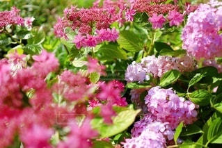 ラズベリーピンクの額紫陽花(ダンス パーティー)の写真・画像素材[3608613]