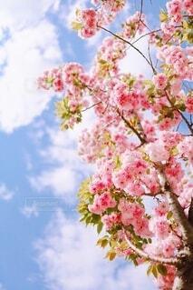 春空とアプリコット ピンクの八重桜の写真・画像素材[3648423]