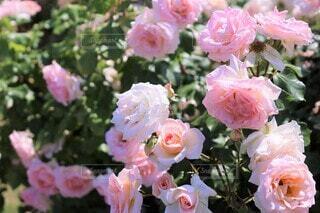 アプリコット ピンクの薔薇(ヨハン・シュトラウス)(露出±0)の写真・画像素材[3656597]