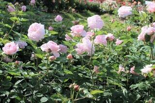 薄桃色の薔薇の園(マサコ・エグランタイン・エグランティーヌ)の写真・画像素材[3681011]
