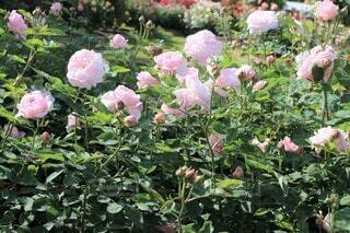 薄桃色の薔薇の園(マサコ・エグランタイン・エグランティーヌ)の写真・画像素材[3681012]