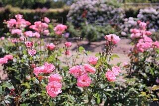 ストロベリー ピンクの薔薇の園(クイーン・エリザベス)の写真・画像素材[3693793]
