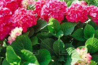 ラズベリー ピンクの紫陽花の写真・画像素材[3712787]