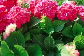 ラズベリー ピンクの紫陽花の写真・画像素材[3712793]