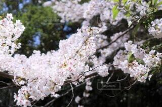 咲き終わりの桜花(染井吉野)(ティント±0)の写真・画像素材[3723360]