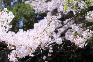 咲き終わりの桜花(染井吉野)(ティント+)の写真・画像素材[3723361]