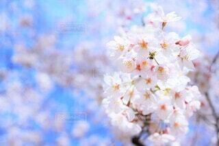一枝の桜花(染井吉野)の写真・画像素材[3739835]