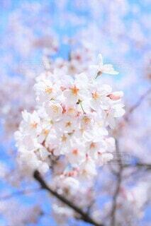 一枝の桜花(染井吉野)の写真・画像素材[3739836]