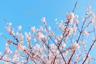 咲き誇る桜花(染井吉野)の写真・画像素材[3770435]