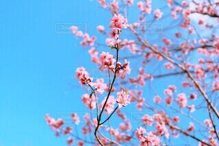 春空を満たす花桃の写真・画像素材[3773763]