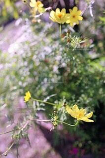 レモン イエローの秋桜(ムーン・ライト)(色温度±0)の写真・画像素材[3787071]