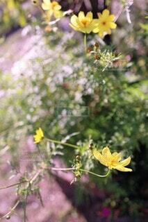 レモン イエローの秋桜(ムーン・ライト)(色温度+)の写真・画像素材[3787074]