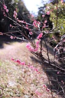 小春日和の紅梅の写真・画像素材[3797433]