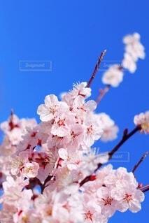 桜色の梅花の写真・画像素材[3819903]
