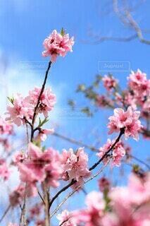 花桃の咲く頃の写真・画像素材[3826720]