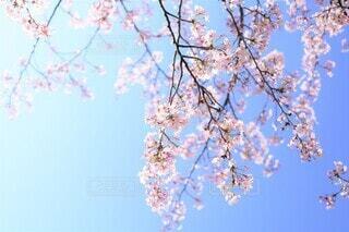空の青に透ける桜花(染井吉野)の写真・画像素材[3862070]