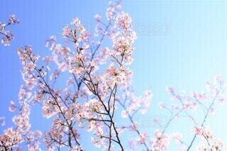 空の青に透ける桜花(染井吉野)の写真・画像素材[3862072]