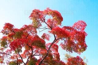 爽秋の赤紅葉の写真・画像素材[3907069]