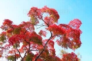 爽秋の赤紅葉の写真・画像素材[3907070]