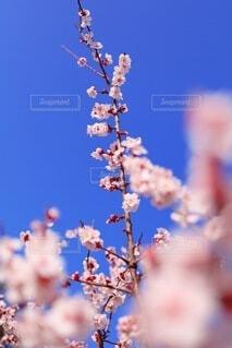 桜色の梅花の写真・画像素材[3941964]