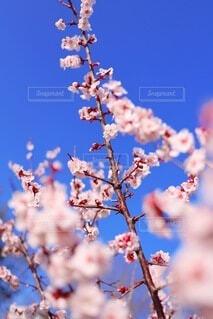 桜色の梅花の写真・画像素材[3945284]