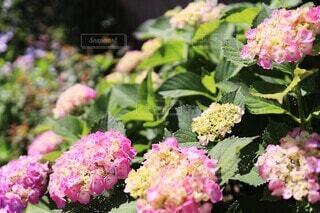 色付き始めの手毬咲き紫陽花の写真・画像素材[3974036]